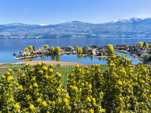 Green Bay Lakefront Subdivision on Okanagan Lake West Kelowna British Columbia Canada with yellow flowering shrub in foreground